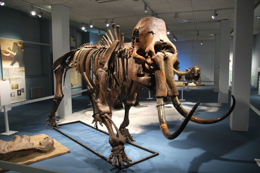 Mammouth (Mammuthus primigenius) - 4,10 x 1,20 x 2,20m (4)