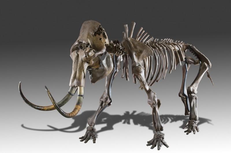 Mammouth (Mammuthus primigenius) - 4,10 x 1,20 x 2,20m