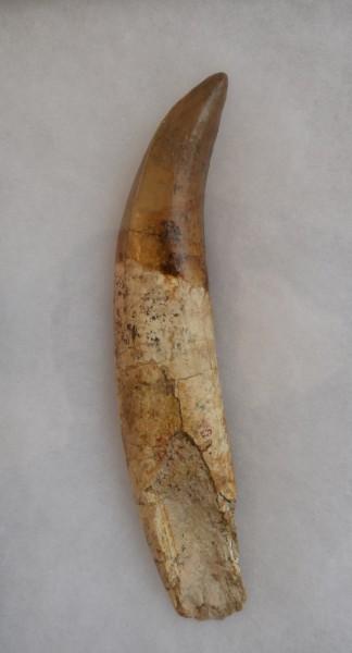 Dinosaurus tand - Tarbosaurus battaar - 23 cm