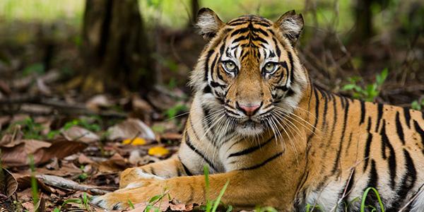 Tiger_600x300